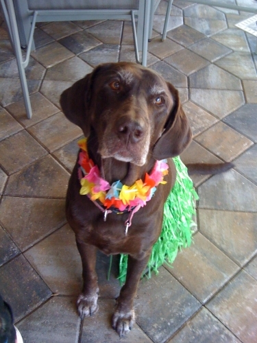 Sherris's dog, Coco in her finest hula wear.